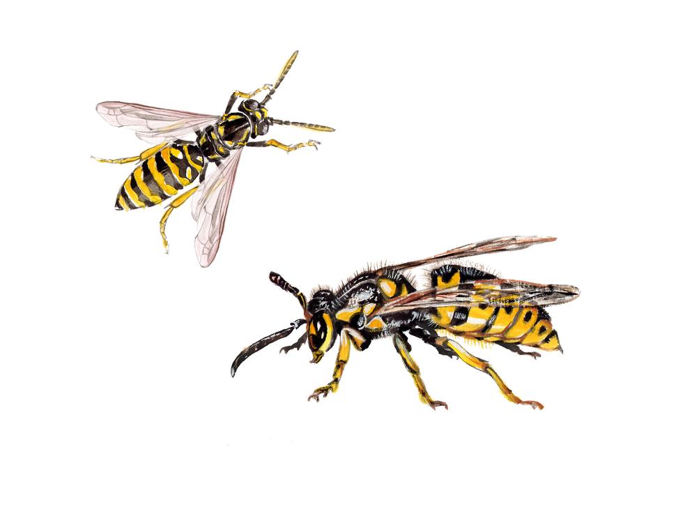 Wasp Control