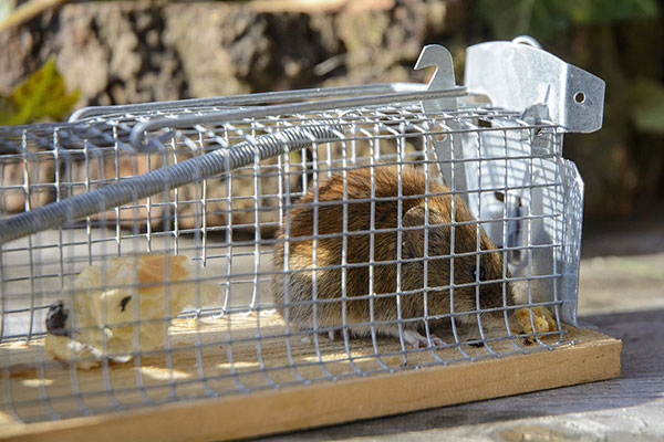 Rodent Trap with rodent
